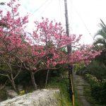 金城町石畳 桜