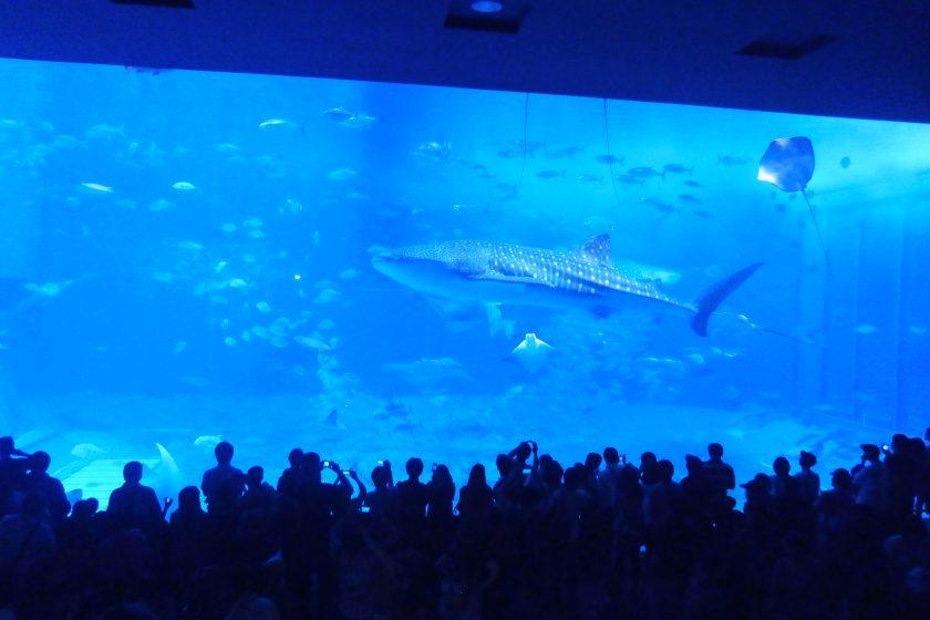 黒潮ゾーン ジンベエザメ