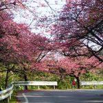 八重岳 寒緋桜