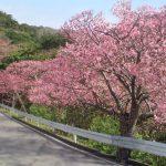 八重岳 寒緋桜2