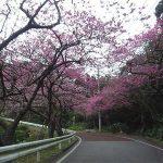 八重岳 寒緋桜3